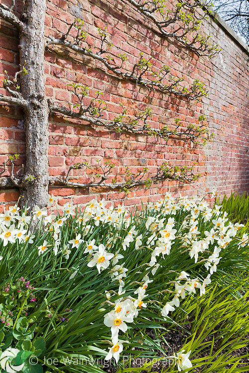 Fruit trees trained against a brick wall and underplanted with daffodils, at Erddig Hall, Wrexham, photographed in April
