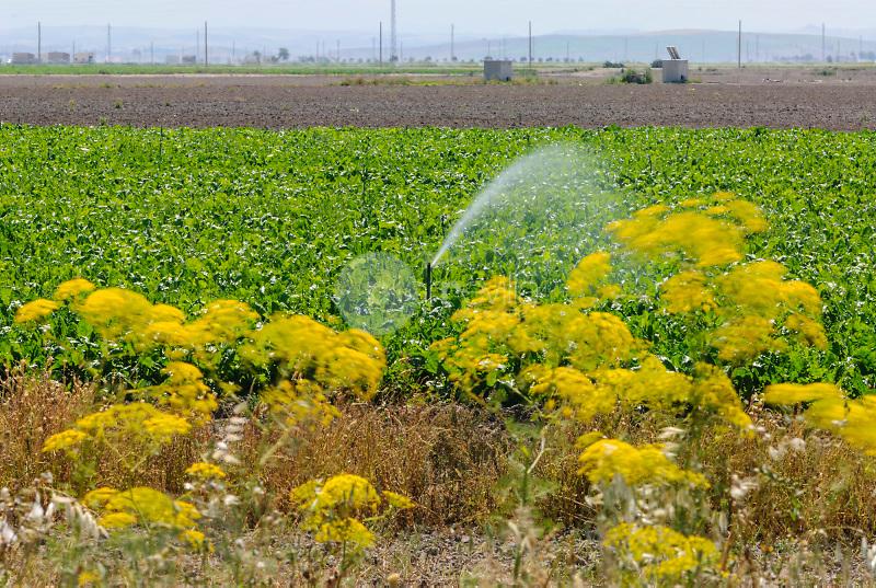 Plantaciones de remolacha.Valle del Guadalquivir.Lebrija.Sevilla ©Antonio Real Hurtado / PILAR REVILLA