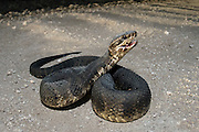 Water Moccasin or Cottonmouth (Agkistrodon piscivorus conanti) in the Big Cypress National Preserve in the Florida Everglades. Destruction of habitat and persecution by man are this species' biggest threat.