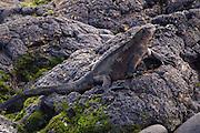 A marine iguana (Amblyrhynchus cristatus) along the shore of James Bay, Santiago Island, Galapagos Archipelago - Ecuador.
