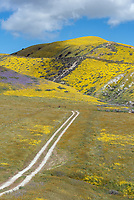 Dirt road surrouned by yellow Goldfields in the Carrizo Plains National Monument in California during a super wildflower bloom on April 4, 2019.