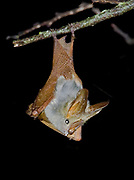 Yellow-winged Bat, Lavia frons, from Sweetwaters, Kenya.