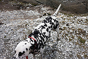 A pet Dalmatian dog stands near stony ground near Morte Point on the north Devon coast.