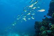 Schooling Baitfish on Molasses Reef, Key Largo, FL