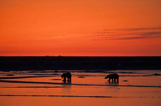 Polar Bear, (Ursus maritimus) Sunset over bear at Hudson Bay. Churchill, Manitoba. Canada.