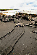 Hawksbill Sea Turtle, Punaluu Black Sand Beach, Island of Hawaii