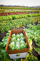 Farming in Oregon and Washington.  Lettuce fields with lettuce in a box right after being picked