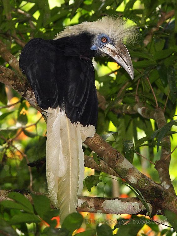 White-crowned Hornbill, Berenicornis comatus, Tabin Wildlife Reserve, Sabah, Borneo, Malaysia, by Markus Lilje