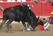 BEA AHBECK/NEWS-SENTINEL<br /> A member of Aposento de Turlock has a close encounter with the bull during the first grab during the bloodless bullfight during the Our Lady of Fatima Portuguese Festival in Thornton Saturday, Oct. 14, 2017.