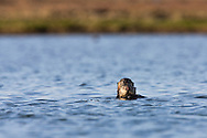 California Sea Otter (Enhydra lutris) pup hiding behind its mother - Elkhorn Slough, California