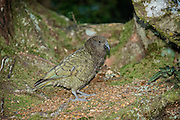 At dusk, a kea forages along the forest floor at Fiordland National Park, New Zealand