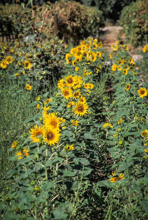 CENTRAL VALLEY, CALIFORNIA - Sunflowers at the UC Kearney Ag Center
