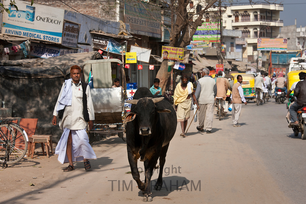Bull roaming along street in Nandi near Varanasi, Benares, Northern India