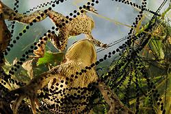 Common toad (Bufo bufo) with in strings of toadspawn Solling in the Central German Upland. Solling, Germany   Erkröten-Paar (Bufo bufo) beim Laichen, die schwarzen Punkte sind die Eier in der Laichschnur