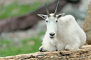 A mountain goat (Oreamnos americanus) rests on a rock, Northern Montana