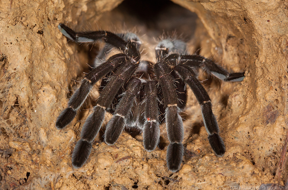 Tarantula (Prob. Ornithoctoninae) at the entrance of its burrow - Ulu Temburong, Brunei (Borneo)