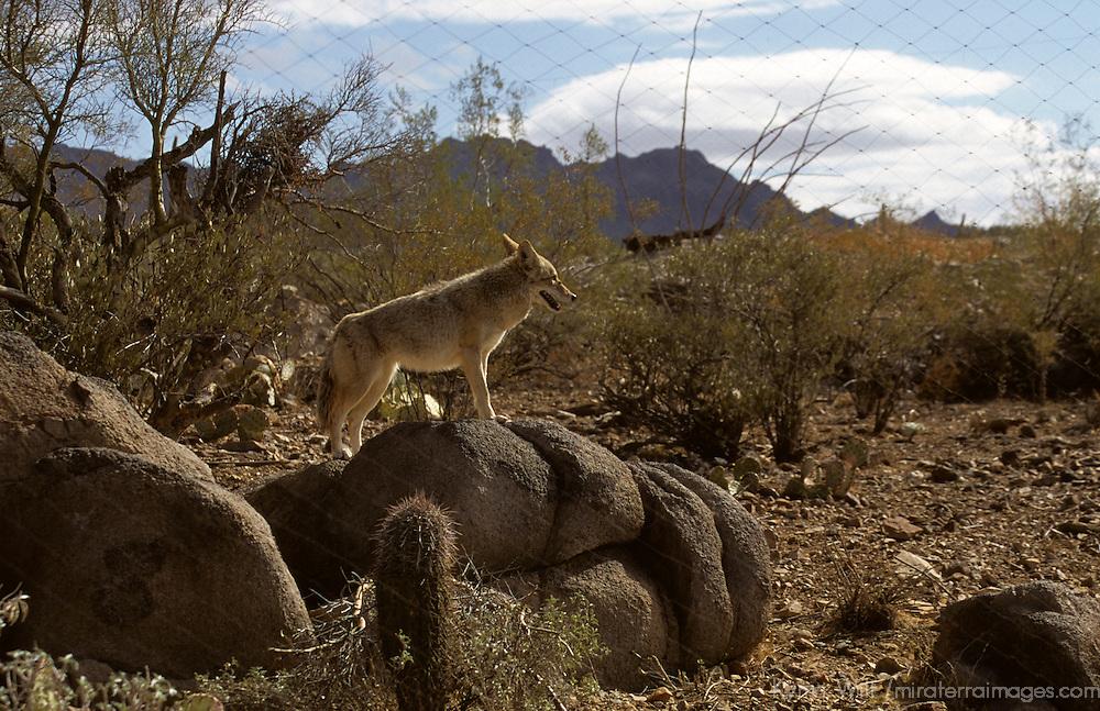 North America, Americas, USA, United States, Arizona. Arizona-Sonora Desert Museum.