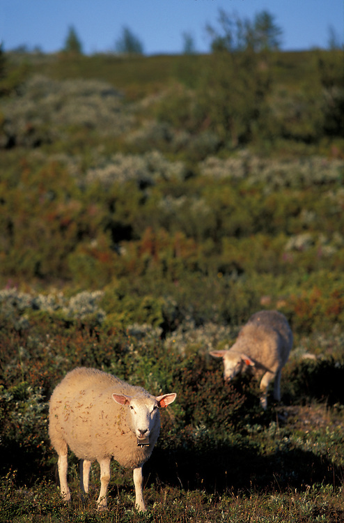 Europe, Norway, Sheep wander along the Peer Gynt Road, near the town of Gausdal