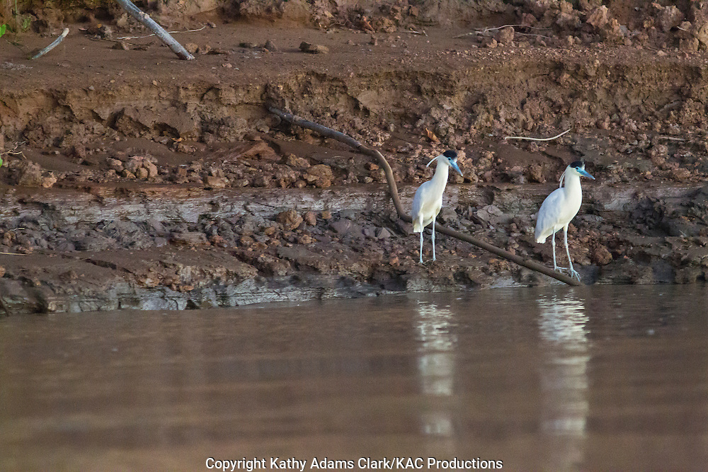 Capped heron, Pilherodius pileatus, Inkaterra Amazonia; Madre de Dios River; Peru; Tambopata National Reserve