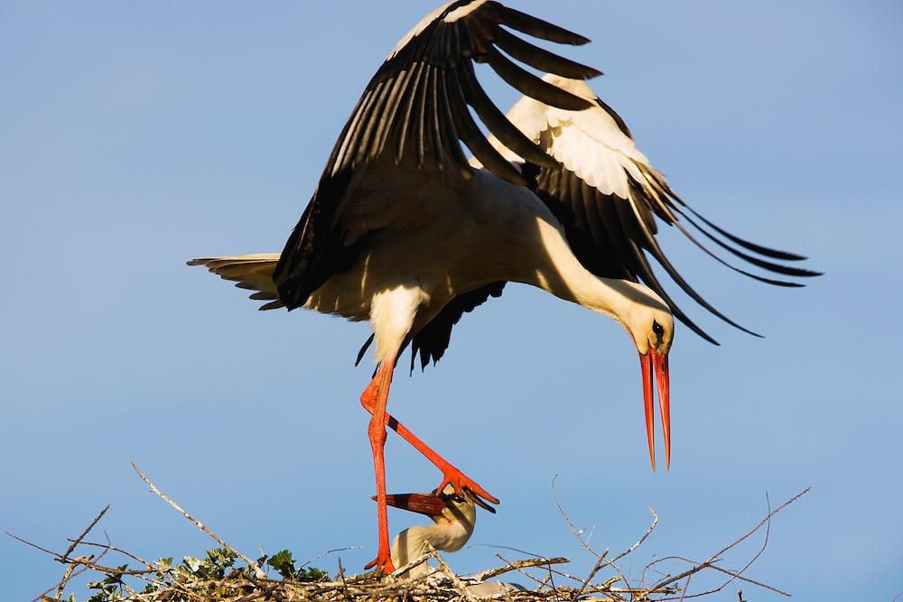 White storks (Ciconia Ciconia) on nest, Pont du Gau, Camargue, France