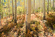 Aspen grove near Independence Pass in White River National Forest, in the Rocky Mountains near Aspen, Colorado