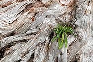 Weeds (likely some species of Daisy) growing out of a driftwood stump at Whytecliff Park in West Vancouver, British Columbia, Canada