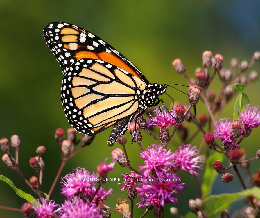 Monarch Butterfly Nectaring On Small Pink Flowers, Danaus plexippus