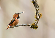 Rufous Hummingbird (Selasphorus rufus) perched on branch in Cordova in Southcentral Alaska. Spring. Evening.