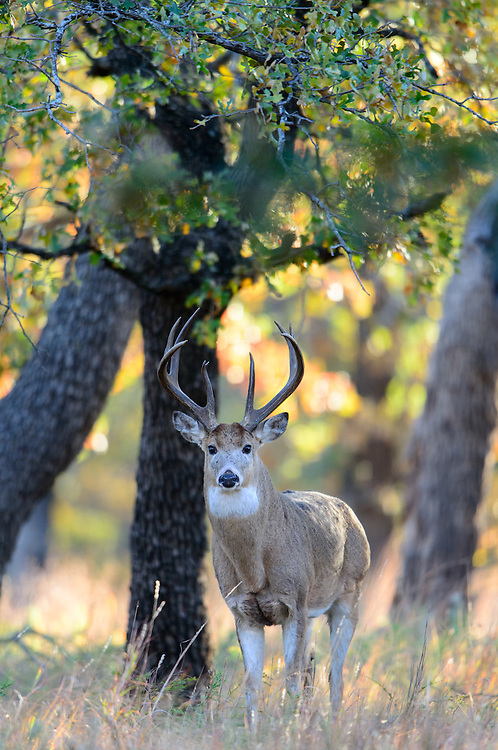 White-tailed Buck (Odocoileus virginianus) in an oak forest, Southern Great Plains, USA