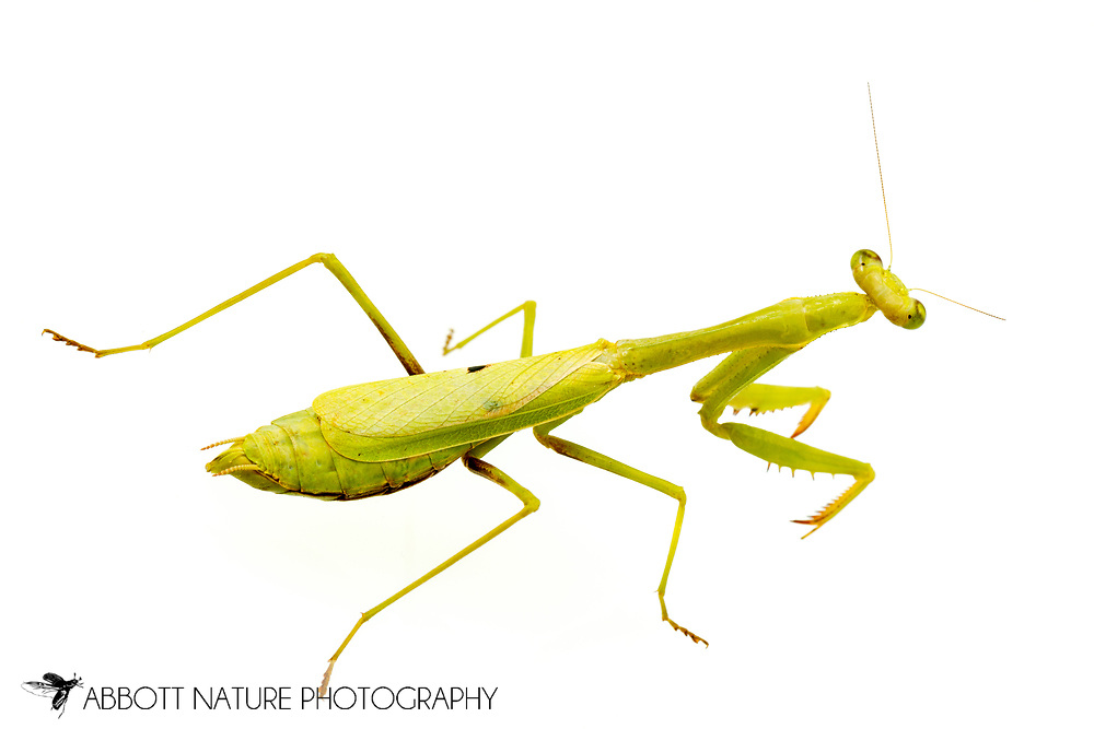 Carolina Mantis (Stagmomantis carolina) female<br /> United States: Alabama: Tuscaloosa Co.<br /> Tulip Tree Springs off Echola Rd.; Elrod<br /> 4-Oct-2017<br /> J.C. Abbott #2998