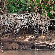 Jaguar walks along the Cuiba river in Pantanal Brazil