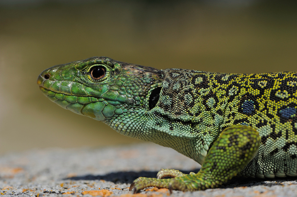 Ocellated lizard, Lacerta lepida.Campanarios de Azába reserve.Salamanca district, Castilla y León, Spain