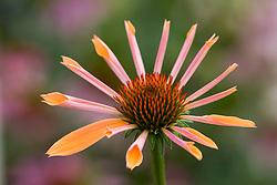 Echinacea 'Sunset'