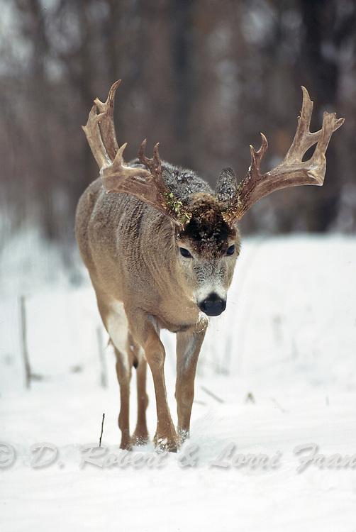 Whitetail deer (Odocoileus virginianus)trophy northern buck in snow