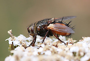 robber fly (Asilidae) closeup