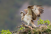 Osprey (Pandion haliaeetus) female on nest, Cairngorms Nat Park, Scotland.