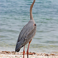 Great Blue Heron in breeding plumage looking left, Sanibel Island, Florida