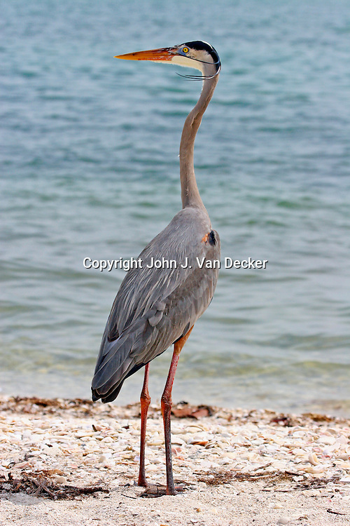 Great Blue Heron in breeding plumage looking left, Sanibel Island, Florida