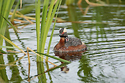 Horned Grebe with Chick on back, frontal view