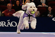 Hattie with a ball in her mouth.<br /> Ball dogs step onto the court at the Royal Albert Hall for the first time in UK history during this year's Champions Tennis event in association with Skinner's Pet Food, with dogs provided by Canine Partners. <br /> During the Champions Tennis match at the Royal Albert Hall, London, United Kingdom on 6 December 2018. Picture by Ian Stephen.