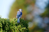 Blue Jay (Cyanocitta cristata) perched in a tree, Cherry Hill, Nova Scotia, Canada