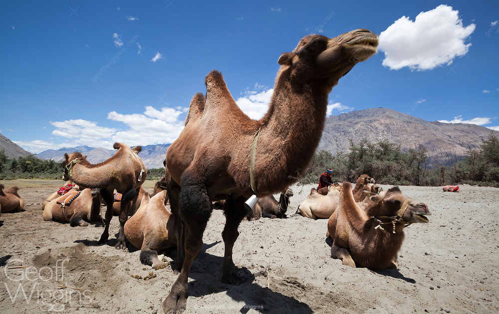 Bactrian camels in the deserts of Hunder, Ladakh, Northern India. After the closure of the Silk Route, the camels were let off into the wild. Some have been domesticated and are being used for tourist camel rides.