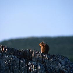 Cascade Golden-Mantled Ground Squirrel (Spermophilus saturatus), Mt. St. Helens National Volcanic Monument, Washington, US