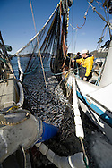 Tom Stafford, captain of the F/V Infinite Glory, oversees pumping tons of herring from his seine onto a tender during the 2007 Sitka Herring Sac Roe fishery.