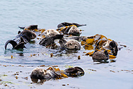 A group of sea otters floating in the ocean.