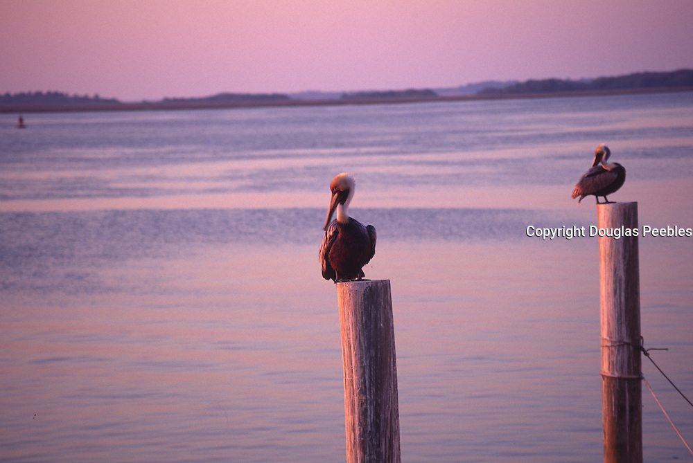 Pelicans, Fernandina, Amelia Island, Florida<br />