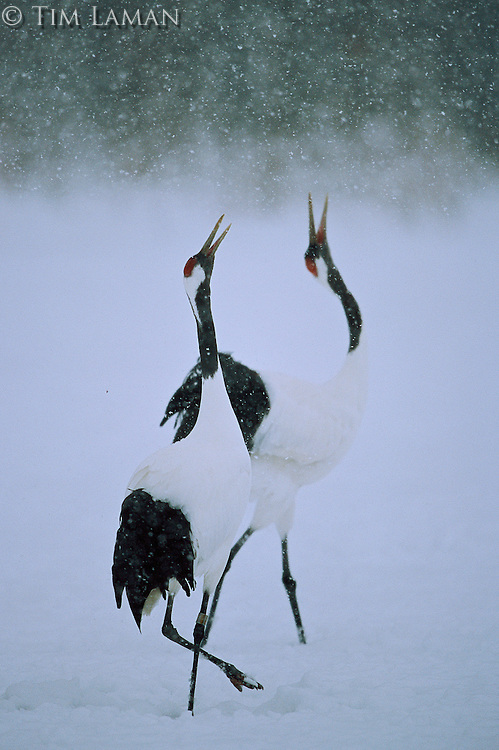 """A pair of red-crowned cranes (Grus Japonensis) doing a """"unison"""" call."""