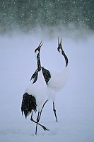 "A pair of red-crowned cranes (Grus Japonensis) doing a ""unison"" call."
