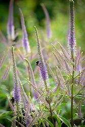 Bee on Veronicastrum virginicum 'Fascination' - Culver's root