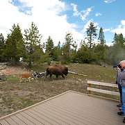 A Bison, or American Buffalo, with a calf walks near tourists in Yellowstone National Park.  Wyoming, USA